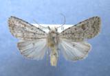 9657 Platyperigea multifera
