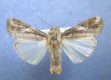 932216 (9666)  Spodoptera frugiperda