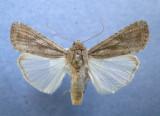 9666 Spodoptera frugiperda 2