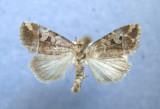 9678 Elaphria versicolor