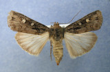 Actebia  balanitis female 1