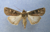 933229 (10924) Actebia  balanitis  female 2