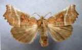 930601(8555) Scoliopterys libatrix