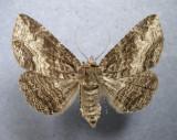931032 (8697) Zale minera 5 Tres/Very Variable - Female