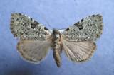 932026 (9065) Leuconycta diphteroides