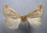 930864 (8592) Cissusa spadix. - Rare/Migrator-migrateur