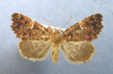 9631 Callopistra mollissima