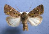 10397 Lacinipolia renigera - Male
