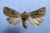 10397 Lacinipolia renigera - Female