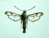 Manitoba Papillons - Moths & Butterflies