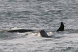 Killer Whale - Orca -Orcinus orca