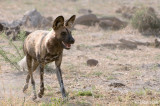 Botswana: African Wild Dogs, October 10, 2008