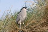 Black-crowned Night-Heron - Kwak - Nycticorax nycticorax