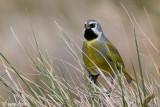 Canary-winged Finch - Magelhaengors - Melanodera melanodera