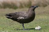 Falkland Skua - Subantarctische Grote Jager - Catharacta antarctica