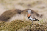 Rufous-chested Dotterel - Patagonische Plevier - Charadrius modestus