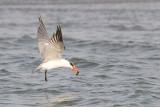 Caspian Tern - Reuzenstern - Sterna caspia