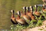 White-faced Whistling Duck - Witwangfluiteend - Dendrocygna viduata