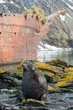 Bayard Ship Wreck with Antarctic Fur Seal