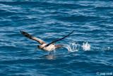 Light-mantled Sooty Albatros - Roetkopalbatros - Phoebetria palpebrata
