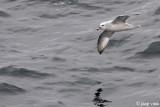 Southern Fulmar - Grijze Stormvogel - Fulmarus glacialoides