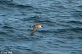 Great Shearwater - Grote Pijlstormvogel - Puffinus gravis