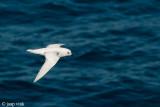 Snow Petrel - Sneeuwstormvogel - Pagodroma nivea