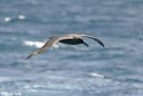 Dark-mantled Sooty Albatross - Zwarte Albatros - Phoebetria fusca