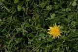 April 3rd - Dandelion