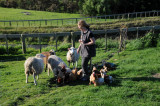 Karen with Sheep and Chickens