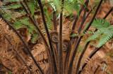 Giant Fern unfurling