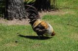 Chickens run wild in New Zealand