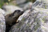 Marmots in the Alps