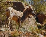 Mountain Sheep - Shelf Road-Cripple Creek to Canon City