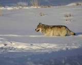 Gallery of Gray Wolf