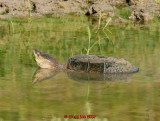 Common Shapping Turtle