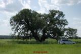 Current National Champion Texas Live Oak