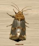 Fur-trimmed Aluminum Moth
