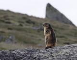Marmotte - le guetteur