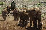 Sheldrick's Wildlife Trust - the 'kids' lead the handlers into the viewing area