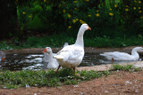 Geese at Kiambethu Tea Farm