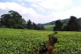 Tea grows in abundance at the Tea Farm!