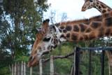 A beautiful giraffe, such graceful animals!