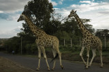 See - the sign was right!  Giraffe leaving the paddock after work.