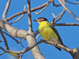 Male Australasian Figbird