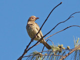Australasian Figbird  im.