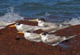 Crested Terns  & Lesser Crested Terns
