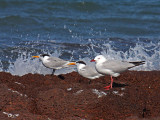 Silver Gull &Lesser Crested Terns