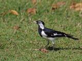 Male Magpie -lark