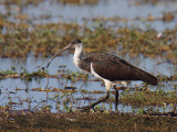 Immature Straw-necked Ibis